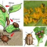 Life cycle of the colorado potato beetle