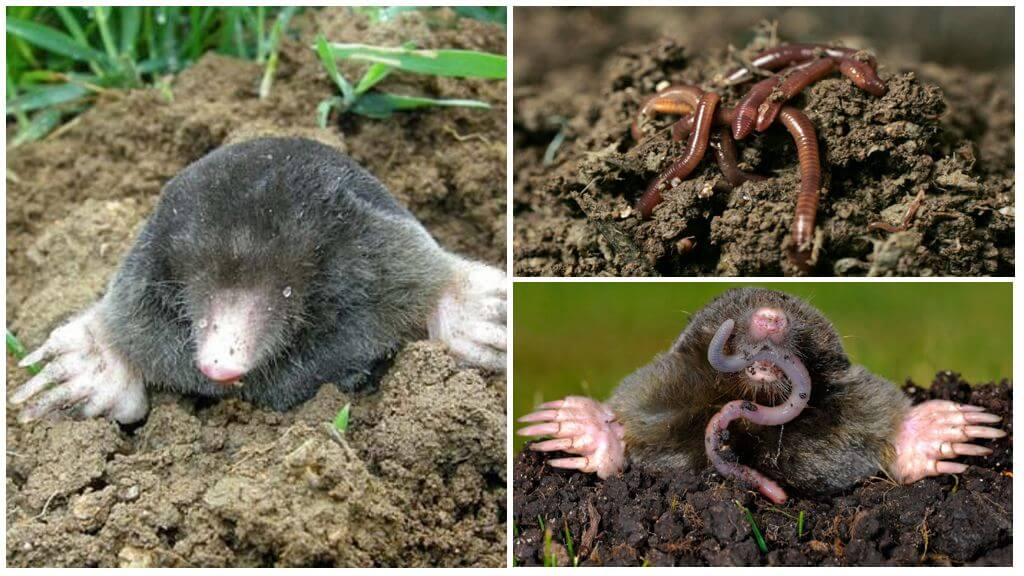 Folk methods of fighting the mole with the help of worms