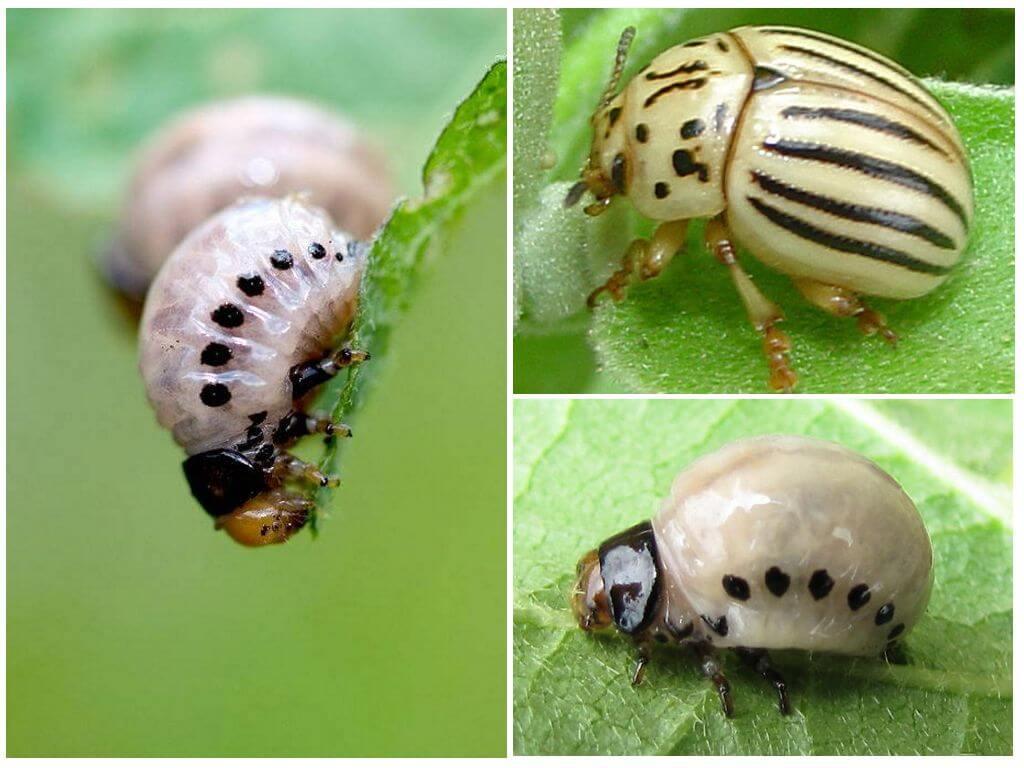 False Colorado potato beetle