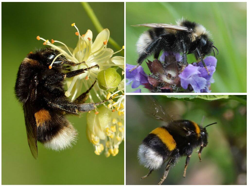 Colorful bumblebees