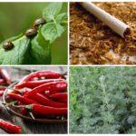 תרופות עממיות עבור חיפושית תפוחי אדמה קולורדו