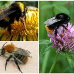 Bumblebee species