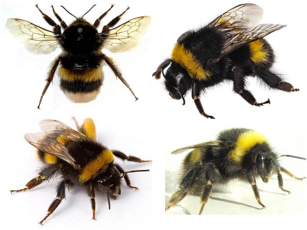 The appearance of the bumblebee