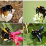 מיני דבורים
