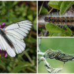 Caterpillar un Butterfly Hawthorn