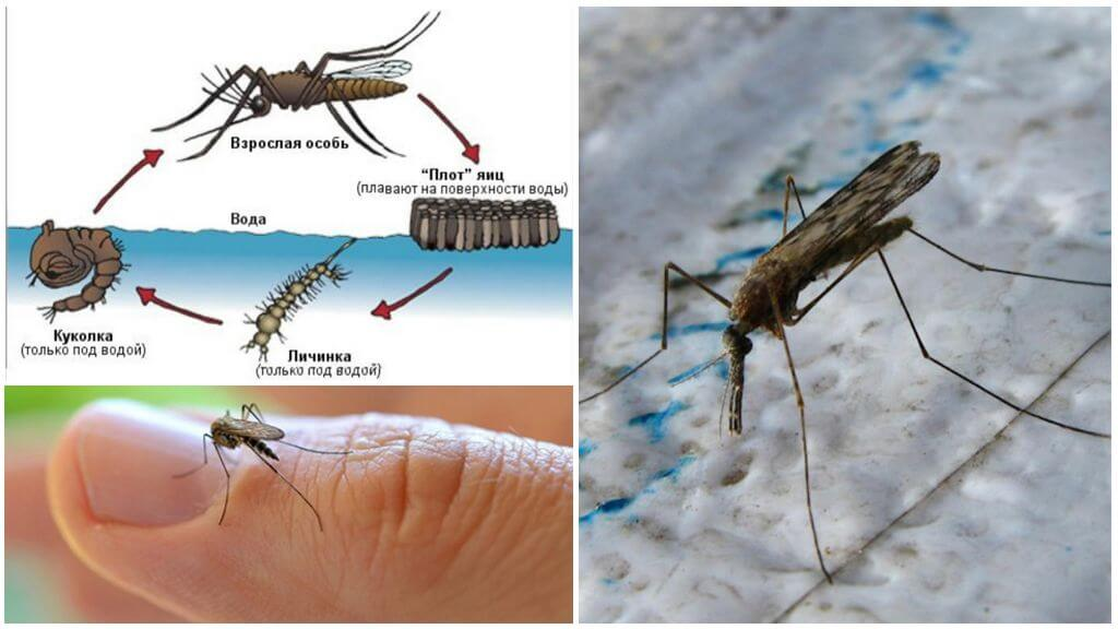 Breeding cycle of the Anopheles mosquito