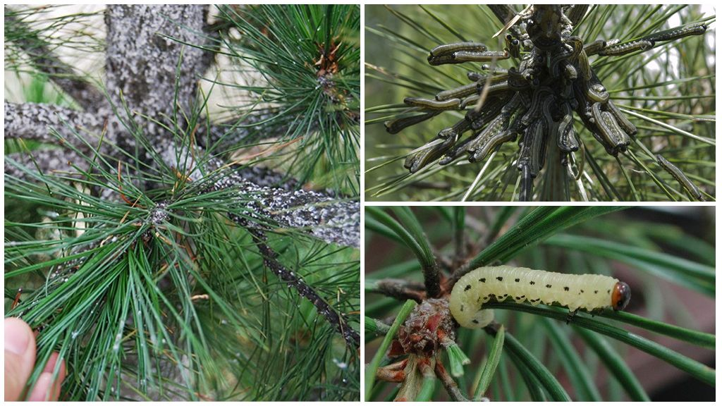 Caterpillars on pine