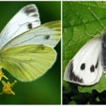 Butterfly Cabbage