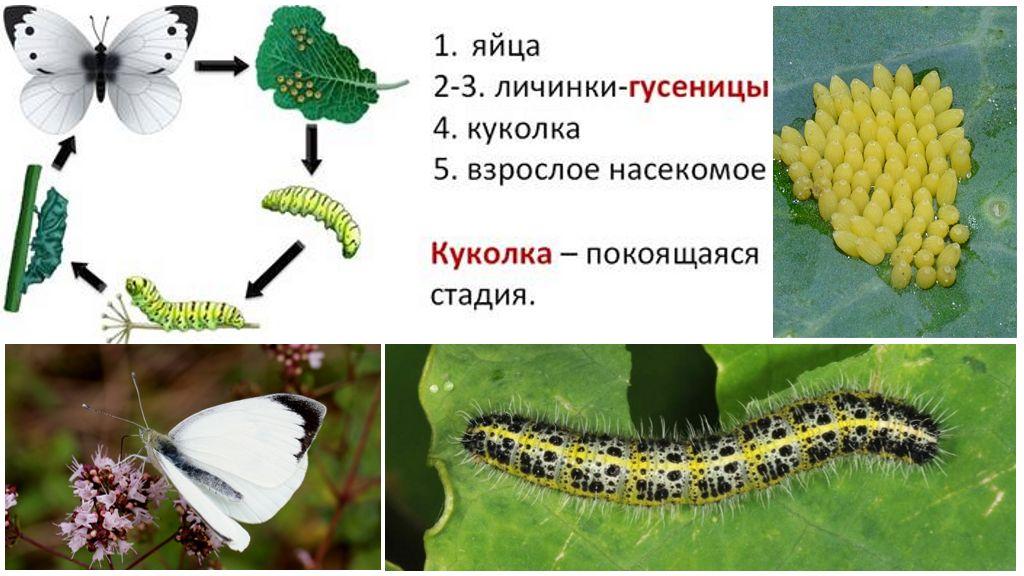 Butterfly Bowl attīstības cikls