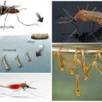 Mosquito breeding