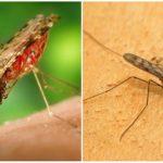 יתוש מלריה