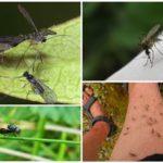 Blackflies and mosquitoes