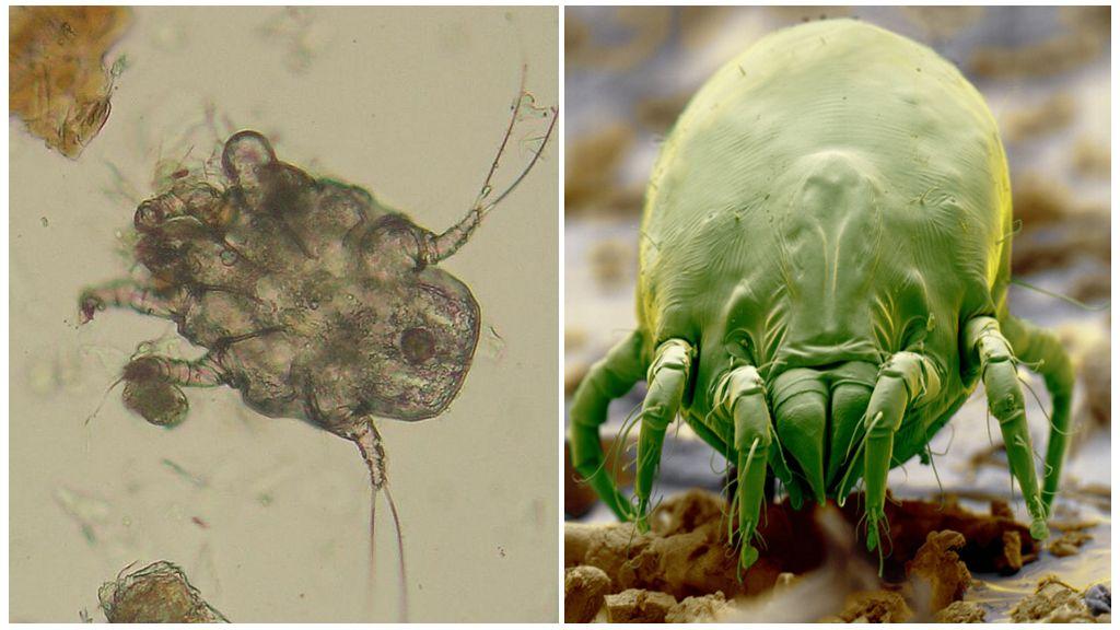 Sarcoptiform mite and saprophyte mite