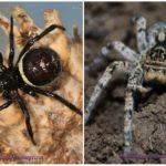 עכבישים של קרים
