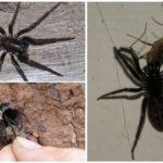 משפך עכביש